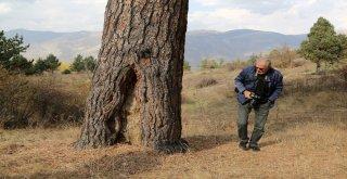Dev Çam Ağacı Hem Boyutu Hem De Hikayesi İle Dikkat Çekiyor