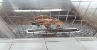 İzmit Zabıtası Başıboş Gezen Pitbull Cinsi Köpeği Barınağa Götürdü