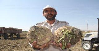 Elazığın Bu Yıl Yeterli Yağış Almaması Pancarda Üretimi Azalttı