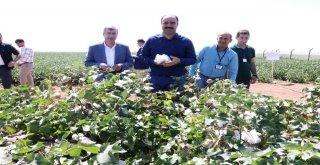 Çiftçi, Yerli Tohumla Üretilen Pamuk Hasadına Katıldı