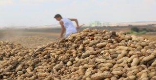 Türkiyenin Yer Fıstığı İhtiyacının Yüzde 60'ı Adanadan