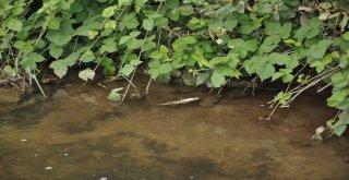 İnegölde Akçasu Deresinde De Balık Ölümleri Görüldü
