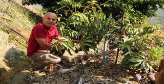 Alanya'da Mango Hasadı Başladı