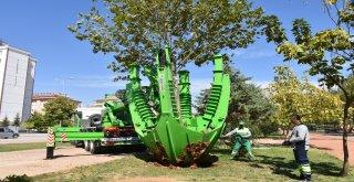 Şahinbeyde Ağaçlar Kesilmeden Taşınıyor