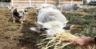 Klon Sığırlar Torunlarının Çocuklarını Gördü
