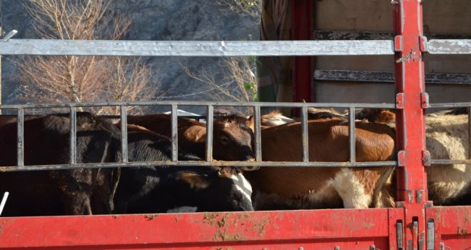 Artvinde Genç Çiftçilere Büyükbaş Hayvan Dağıtımı Yapıldı