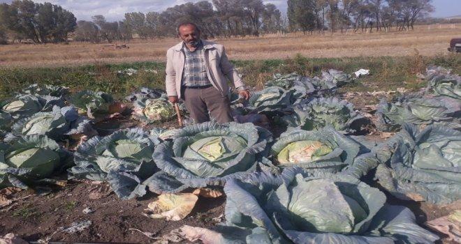 Yozgatın Organik Dev Lahanaları Görenleri Şaşırtıyor