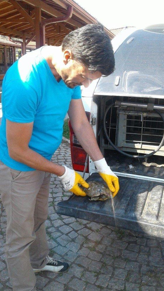 Yaralı Kaplumbağanın İmdadına İzmit Zabıtası Yetişti